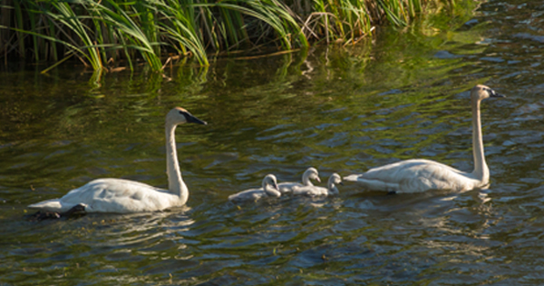 swans-in-camrose