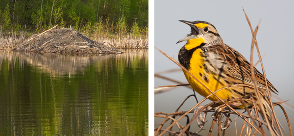 Beaver lodges and migrating nesting birds such as the Meadowlark, above, can be seen along the Battle River.