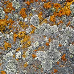 lichen web